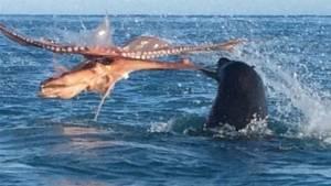 """ศึกนี้หาชมยาก """"แมวน้ำ vs ปลาหมึกยักษ์"""" กลางทะเลนิวซีแลนด์ [ชมคลิป]"""