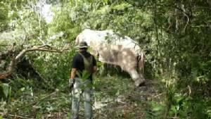 ยิงยาซึมใส่ช้างป่าทำร้ายชาวบ้านเสียชีวิตมาแล้ว 7 ศพ กลับคืนสู่ป่าเขาตะกรุบ