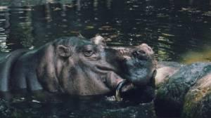"""เจ้าเบอร์ทา ฮิปโป """"อายุยืนที่สุดในโลก"""" ตายแล้วที่สวนสัตว์ปินส์"""