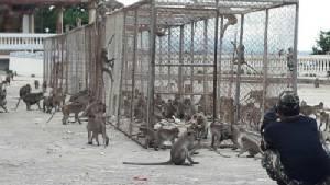 กรมอุทยานแห่งชาติฯ ติดตั้งกรงดักลิง เขาตะเกียบ  จับทำหมัน