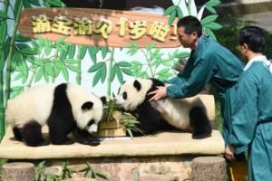 """ชมภาพ """"แพนด้าคู่แฝด"""" สุขสำราญกลางงานวันเกิดในสวนสัตว์เฉิงตู"""