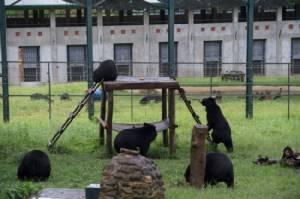 เวียดนามจับมือองค์กรพิทักษ์สัตว์เร่งช่วยเหลือหมีกว่า 1,000 ตัว ถูกขังรีดน้ำดี