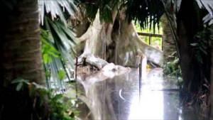 """""""ปู่ศรีสุทโธ"""" ช่วยด้วยน้ำเอ่อท่วมคำชะโนด ต้นมะเดื่อยักษ์จุดขอหวยถูกท่วมสูง 40 ซม."""