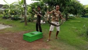 งูหลามยาวเกือบ 4 เมตรแอบเขมือบไก่ชาวบ้านกว่า 30 ตัว