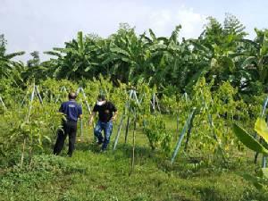 """กระแสมาแรง ส่งให้ """"ถั่วดาวอินคา"""" เป็นพืชทางเลือกใหม่เกษตรกรได้หรือไม่"""