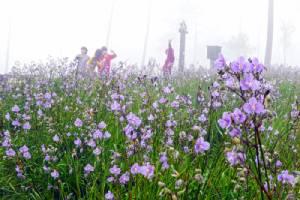 """""""ภูสอยดาว""""ลานสนสวยสูงเสียดฟ้า ตระการตา""""ทุ่งดอกหงอนนาค""""ใหญ่ที่สุดในเมืองไทย/ปิ่น บุตรี"""