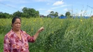 เจ้าของสวนเมล่อนเมืองกรุงเก่าหัวใส ปลูกปอเทืองหลังเก็บเกี่ยว เหลืองอร่ามสวยงาม (ชมคลิป)
