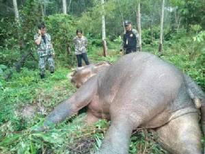 สลด...ช้างป่าเจ้าถิ่นนอนตายในสวนยางเมืองจันท์ พบรอยคล้ายกระสุนรวม 8 จุด
