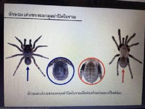 """นักวิจัยจุฬาฯ พบ """"แมงมุมฝาปิดโบราณ"""" มีมาก่อนยุคไดโนเสาร์ที่ป่าแม่วงก์"""