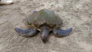 วิกฤตทะเลตราด เต่าทะเลเกยหาดโลมาตาย
