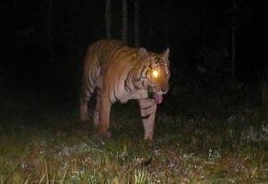 เขมรกางแผนเพิ่มประชากรเสือ นำลายพาดกลอนจากอินเดียปล่อยป่ามณฑลคีรี