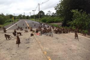 บุก! ฝูงลิงแสมนับ 100 ตัว ยึดถนนท่าเรือ อบต.เขาทอง แย่งอาหารนักท่องเที่ยว