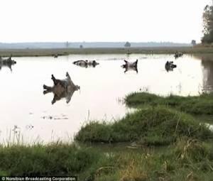 ภาพสุดช็อก! ฮิปโปตายเกลื่อนกว่า 100 ตัวในนามิเบีย คาดติดเชื้อแอนแทรกซ์ (ชมคลิป)
