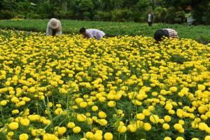 เทศบาลศรีสะเกษ เตรียมนำดอกดาวเรือง 2  แสนต้น ตกแต่งบริเวณพระเมรุมาศจำลอง และประดับเมือง