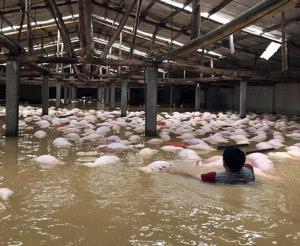 น่าอเน็จอนาถใจหมูจมน้ำตาย 4,000 ตัวลอยฟ่องทั้งฟาร์ม เหยื่อดีเปรสชั่นเวียดนามล่าสุด