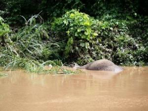 ลุ้นระทึก..น้ำป่าซัดลูกช้างตกคลองชมพู ลอยคอชูงวงหายใจเกือบหมดแรง