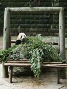 ชมภาพวันสบายๆของแพนด้ายักษ์ในสวนสัตว์ฉงชิ่ง