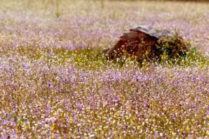 """งดงามอลังการ """"ดอกไม้ป่าน้ำตกผาหลวง"""" บานเต็มทุ่งเกือบ 100%"""