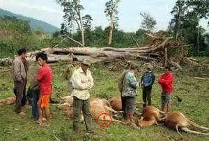 """ไต้ฝุ่น """"ช้างสาร"""" ฆ่าวัว 11 ตัวในลาว ลมพัดแรงต้นไม้ใหญ่โค่นทับตายระเนระนาดน่าอนาถใจ"""