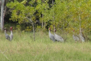 """สุดประทับใจพบฝูง """"นกกระเรียนไทย"""" สูญพันธุ์จากป่า กว่า 10 ตัว ลงหากินในพื้นที่ชุ่มน้ำบุรีรัมย์"""