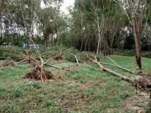 พายุฝนพัดถล่มสวนยางพาราของโรงเรียนบ้านเก่าที่สมเด็จพระเทพฯ เคยเสด็จมาเยี่ยมชม