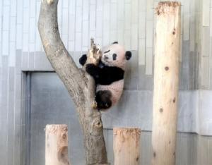 ชาวญี่ปุ่นแห่สมัครชมลูกแพนด้าน้อยคับคั่ง สวนสัตว์ต้องจับสลากคัดเลือก