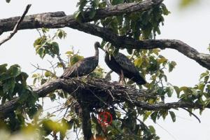 นกป่าในกัมพูชาเป็นข่าวได้ทั้งปี ตอนนี้ยิ่งเป็นข่าวใหญ่ฟักไข่ได้ลูกเจี๊ยบ 3 ตัว