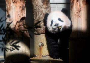 Baby panda makes press debut at Japan zoo