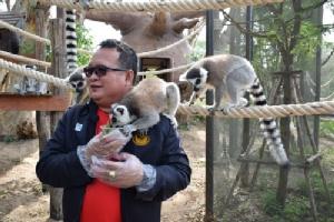 ลีเมอร์หางแหวนรีเทิร์น ต้อนรับนักท่องเที่ยวที่สวนสัตว์เปิดเขาเขียว