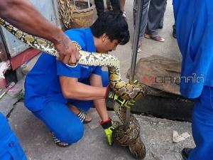 """ระทึก! กู้ภัยช่วยกันจับ """"งูเหลือมยักษ์"""" ตัวยาวเกือบ 4 เมตร กลางเมืองหาดใหญ่"""