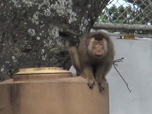 จับลิงกังไล่กัดเด็กหญิงเจ็บ 2 หลังพบถูกคนนำมาปล่อยทิ้งไว้ที่เขาตังกวน จ.สงขลา