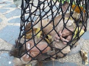 วอนอย่าเอาลิงต่างถิ่นปล่อยเขาตังกวน และเขาน้อยสงขลา หลังไล่กัดเด็กหญิงเจ็บ 2