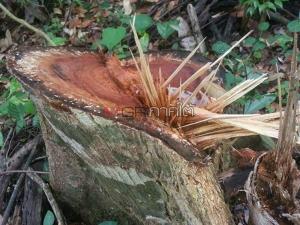 อึ้ง! นายทุนรุกป่าโค่นไม้ซุงขนาดใหญ่ในชายแดนใต้ พบข้อมูลจ้างโจรใต้คุ้มครอง