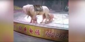 ชมคลิปนาทีชีวิต คณะละครสัตว์ร่วมกันช่วยชีวิตม้า หลังโดนเสือ-สิงโตรุมขย้ำขณะซ้อมการแสดง