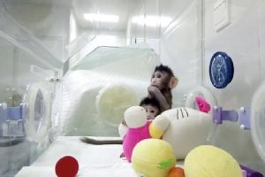 2 ลิงโคลนนิงจากจีนขยับใกล้ความหวังโคลนมนุษย์