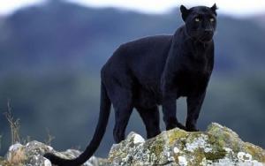 """ศึกษาธรรมชาติฉบับลูกผู้ชาย? ล่า ฆ่า พรากคู่ """"เสือดำ"""" ทำซุปต้มยำ!"""