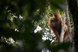 พบอุรังอุตังสปีชีส์ใหม่บนเกาะสุมาตรา