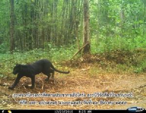 ชุดพญาเสือพบกระดูกขาขวาเสือดำใต้น้ำ คาดต้มเปิบเนื้อจนหมดก่อนโยนทิ้ง