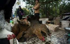 จีนพบผู้ป่วยไข้หวัดนกสายพันธุ์ H7N4 เตือนภัยผู้เดินทางช่วงตรุษจีน