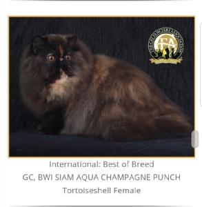แมวสวยหลายสายพันธุ์ดีกรีรางวัลระดับโลกร่วมประกวดในงาน CFA International Asia Cat Show 2018