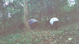 """สนช.ตะลึงพบ""""สมเสร็จ"""" ป่าลึก อช.กุยบุรี"""