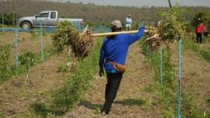ชาวสวนเชียงใหม่เร่งมือถอนกระเทียมขายสด คาดปีนี้ 3 อำเภอเงินเข้ากว่า 400 ล้าน