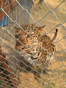 จนท.บุกบ้านเชียงใหม่จับสาวลอบเลี้ยงเสือดาว หลังชาวบ้านสุดทนแจ้งนำจูงเดินเล่นทั่วหมู่บ้านเหมือนหมา