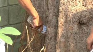 ที่แท้ผู้รับเหมาการไฟฟ้าฯ เจาะ-วางยาฆ่าต้นไม้ริมทางเชียงคำ อ้างสูงเกินตัดไม่ได้