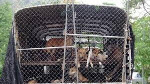 หัวหินเร่งย้ายเจ้าตูบไร้บ้านล็อตแรก 100 ตัวไปบุรีรัมย์ สถานการณ์โรคพิษสุนัขบ้ายังน่าห่วง