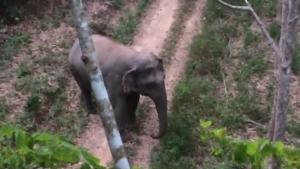 เดือดร้อนหนัก โขลงช้างป่านับสิบบุกทำลายแปลงสวนยางชาวบ้านที่สุราษฎร์ฯ