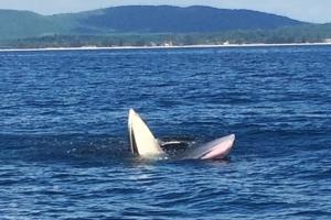 พบวาฬบรูด้า โผล่กินอาหารหน้าอ่าวดังที่ชุมพร