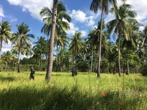 ยึดป่าถูกบุกรุกกลางเกาะในสตูลปลูกมะพร้าวกว่า 100 ต้น ไม่พบบุคคลอ้างเป็นเจ้าของ