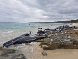 วาฬนำร่องกว่า 130 ตัวเกยตายฝั่งในออสเตรเลีย กู้ภัยเร่งช่วยตัวที่ยังรอด