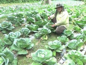 เกษตรกรสาวตรังหันมาปลูกพืชเมืองหนาวข้างบ้านพื้นที่ 2 ไร่ สร้างรายได้งาม